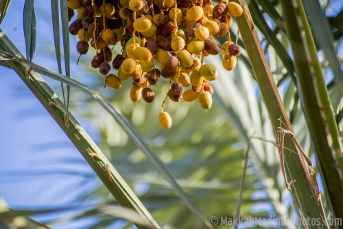 Palm trees with dates fruits.
